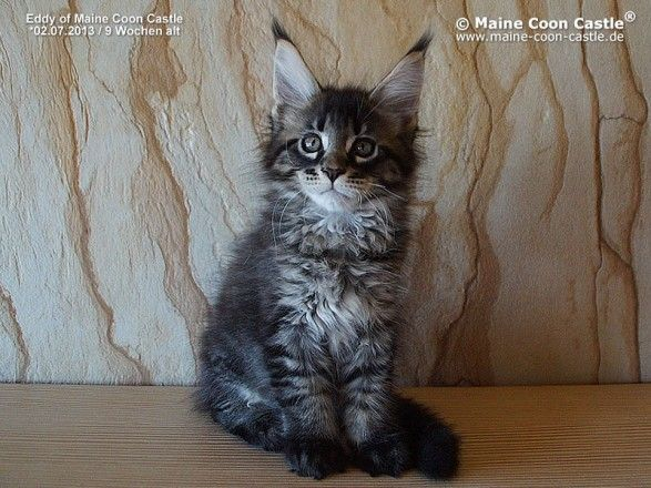 Pin Auf Maine Coon Baby Litter E