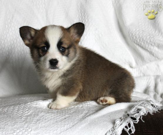 Micah Welsh Corgi Pembroke Puppy For Sale In Kinzer Pa Lancaster Puppies Corgi Pembroke Welsh Corgi Puppies Puppies For Sale
