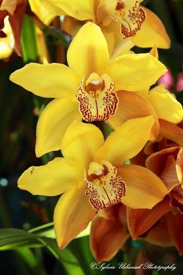 Orquídea de jardim