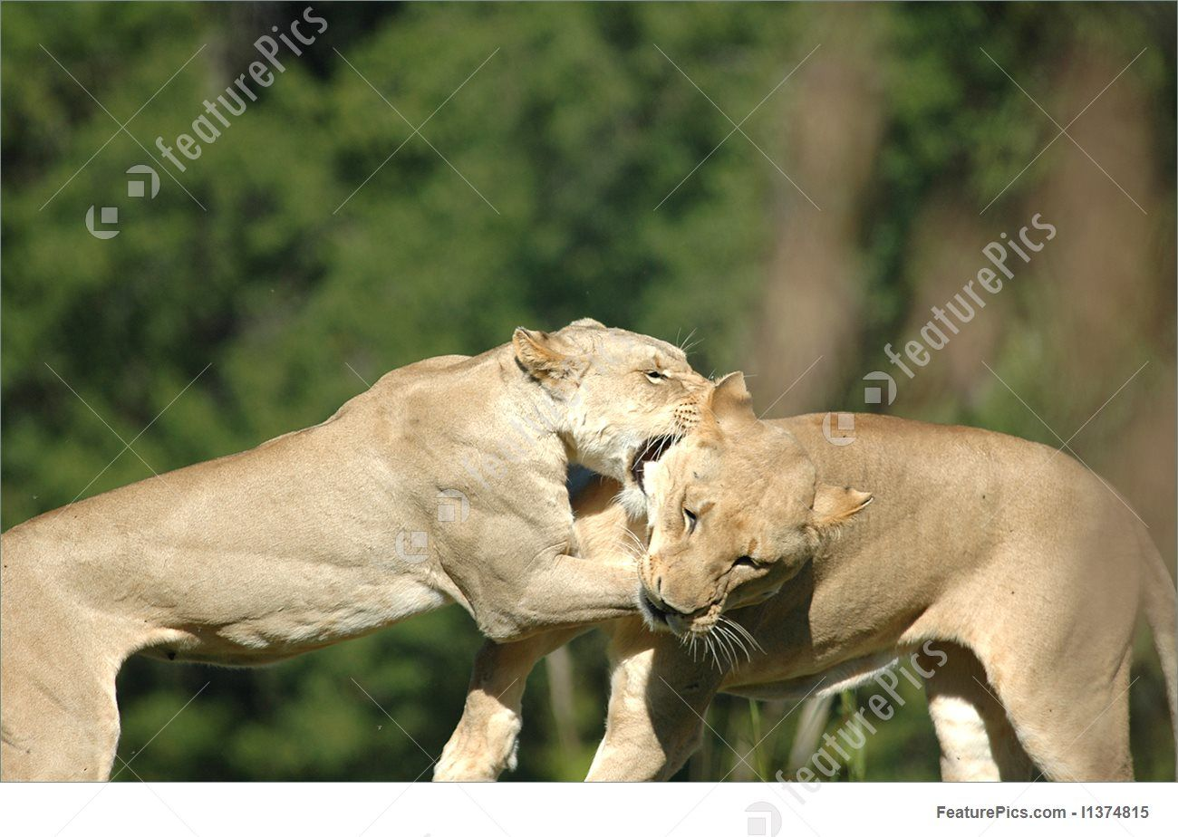 Image result for lion fight African lion, Kansas city