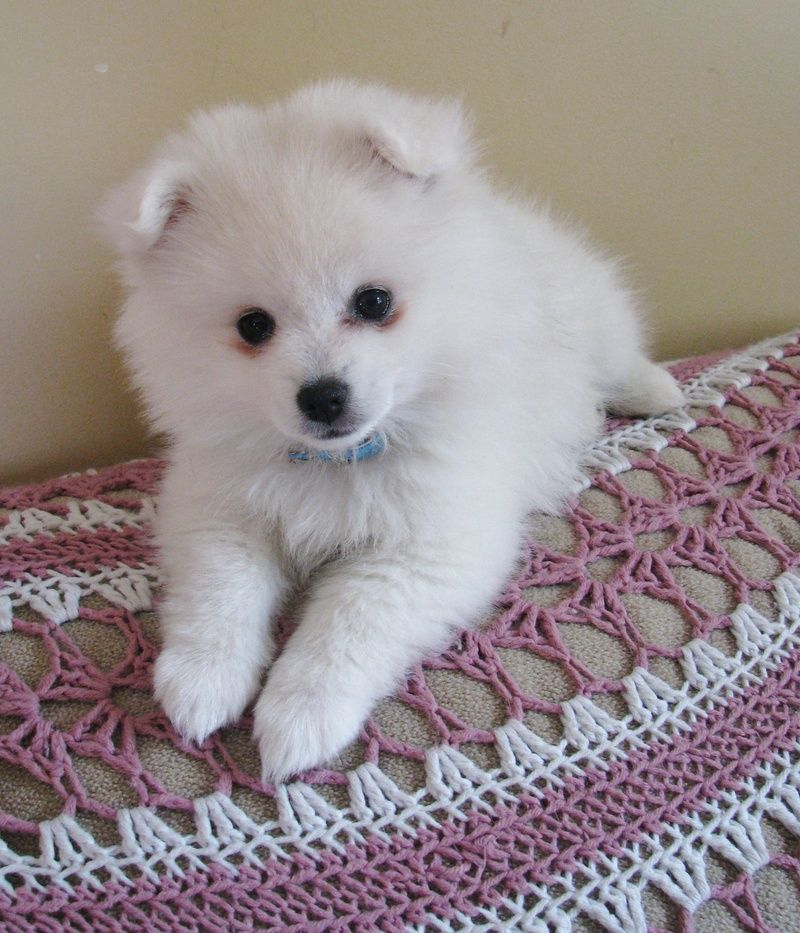Miniature American Eskimo Dogs Discover Quickly And Are Eager To