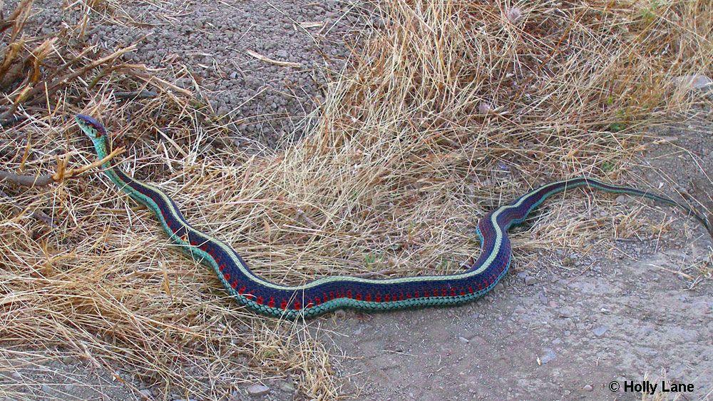 California Red Sided Garter Snake Snake Weird Animals Animals