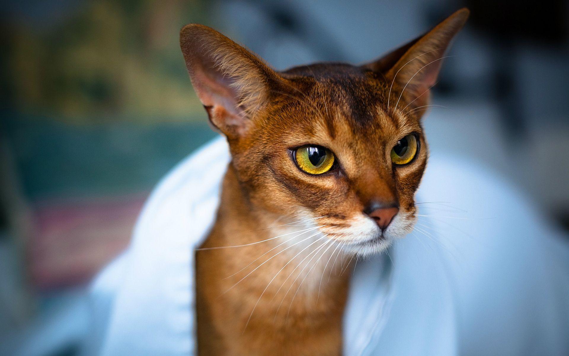 Resultado de imagem para gato Abyssinian e caracal