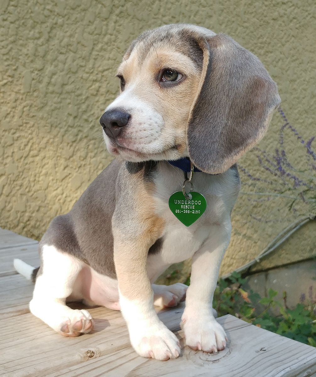 Beagle Dog For Adoption In St Louis Park Mn Adn 659562 On