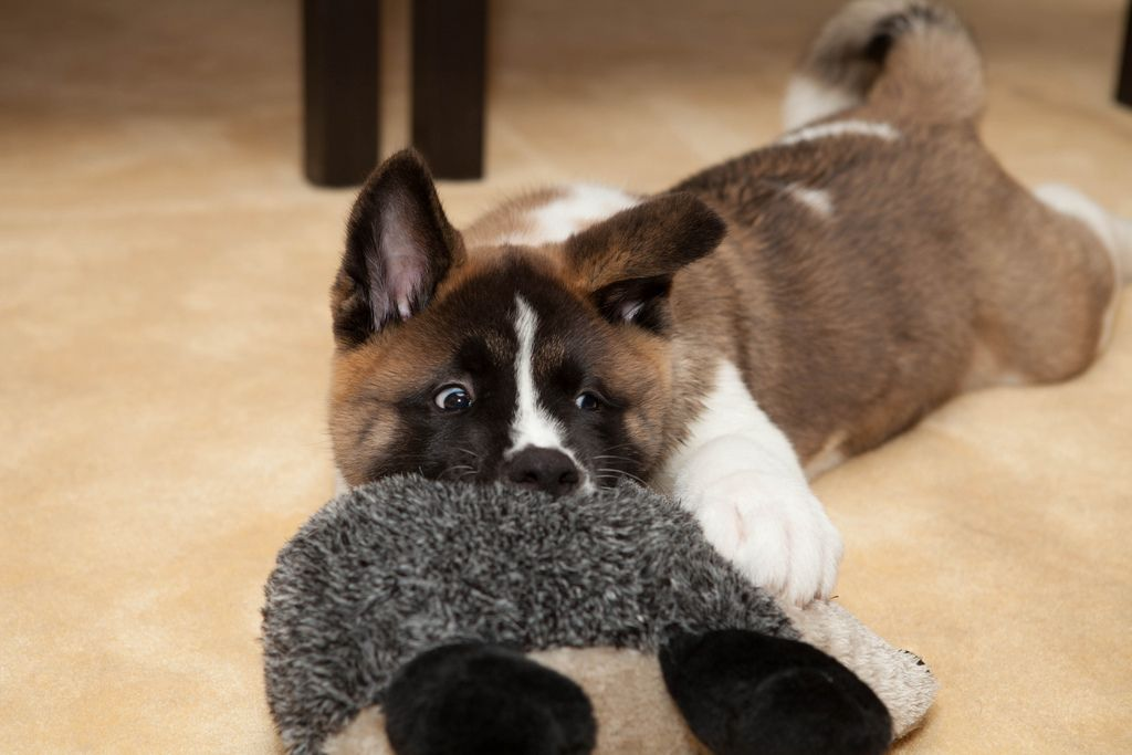 Akita Puppy Dog Akita Dog American Akita Akita Puppies
