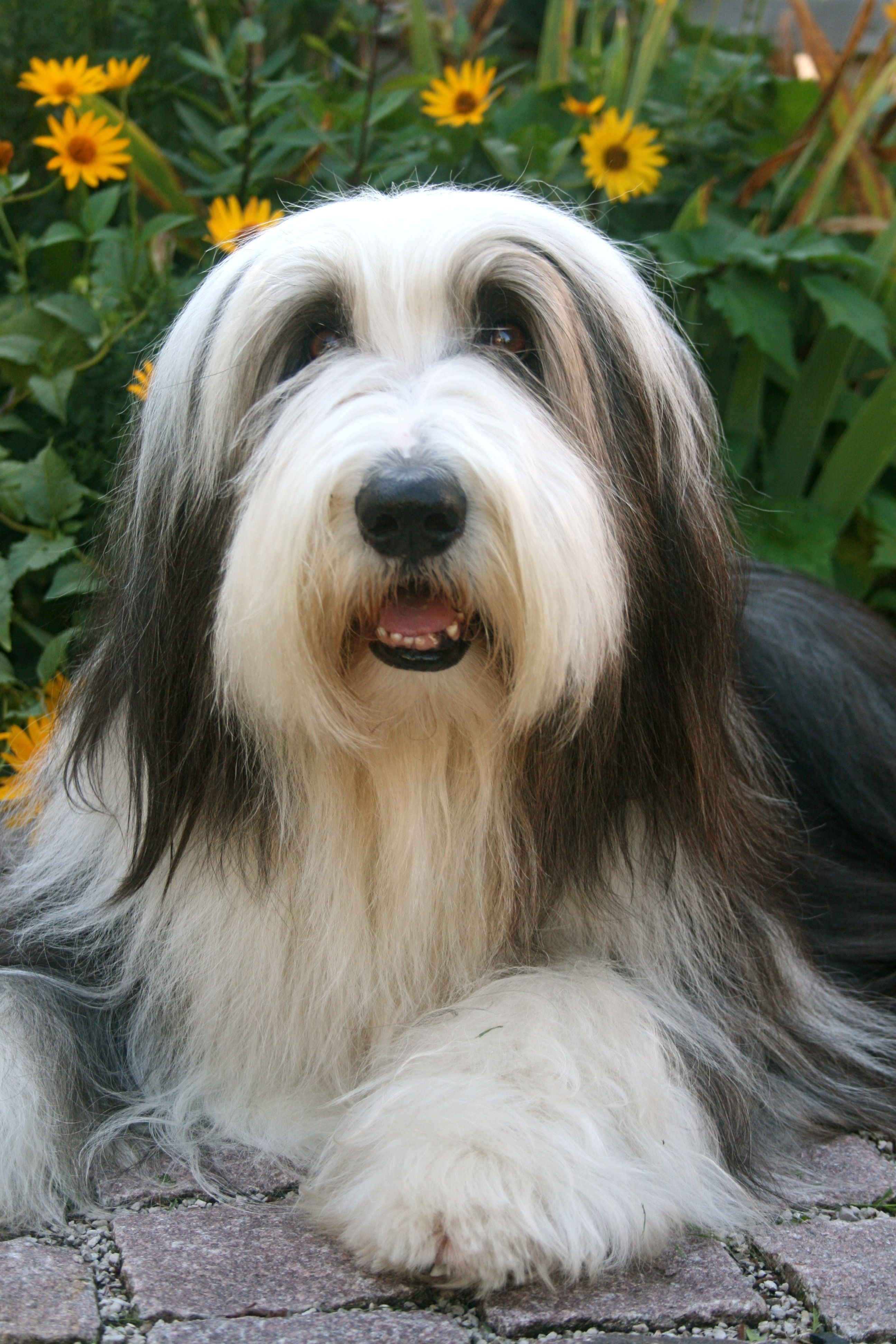 Bearded Collie Bearded Collie Cute Dogs Dogs Of The World
