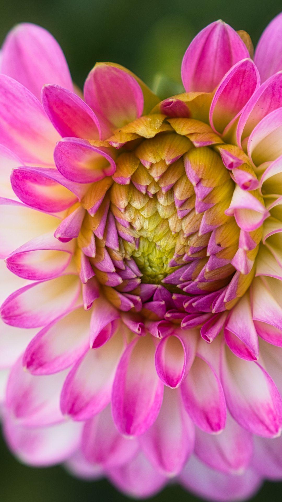 Dahlia Pink Flower Close Up Wallpaper Pink Flowers Wallpaper Flower Wallpaper Flowers