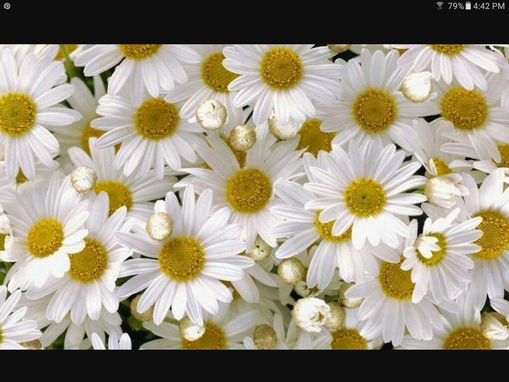 Pin by lorraine howard on gardening pinterest gardens beauty shots margaritas daisy flowers language beauty photos blossoms margarita flower speech and language izmirmasajfo