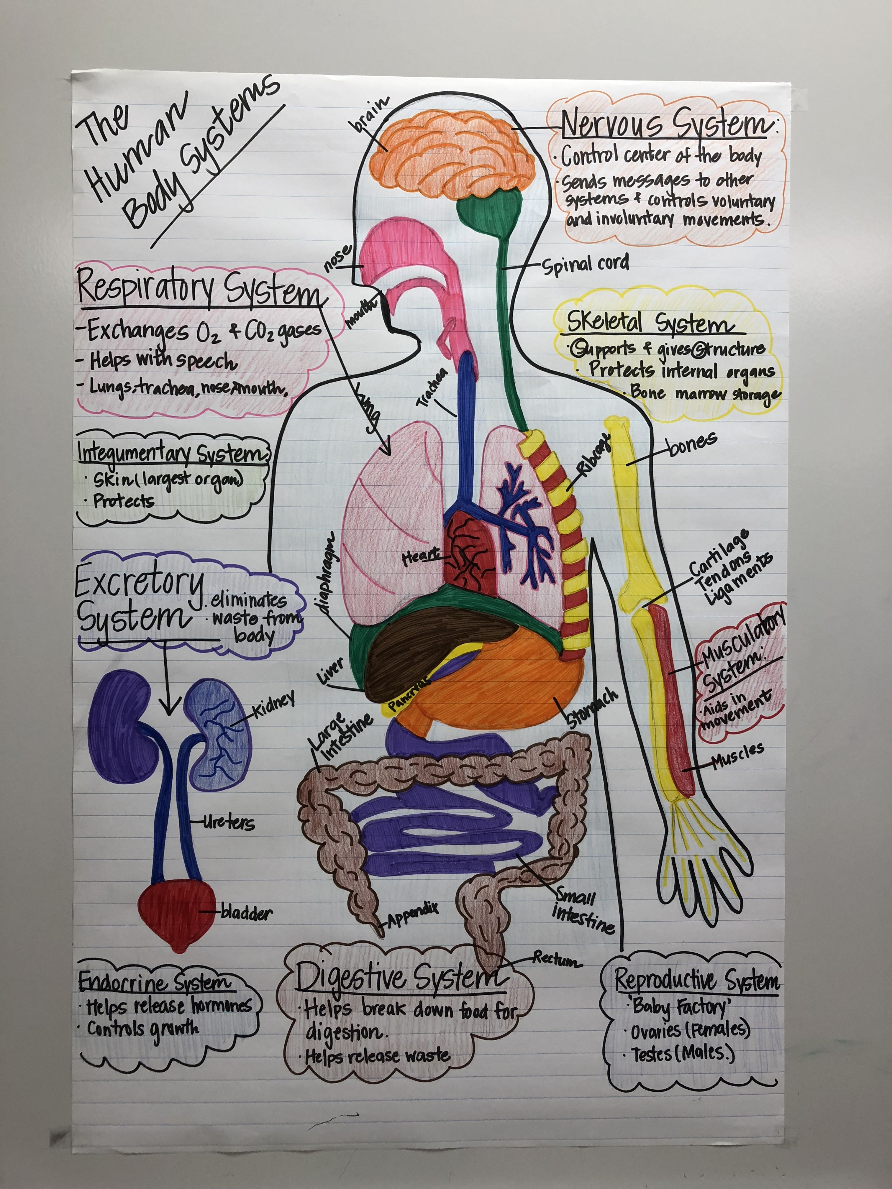 Human body systems anchor chart for 7th grade science