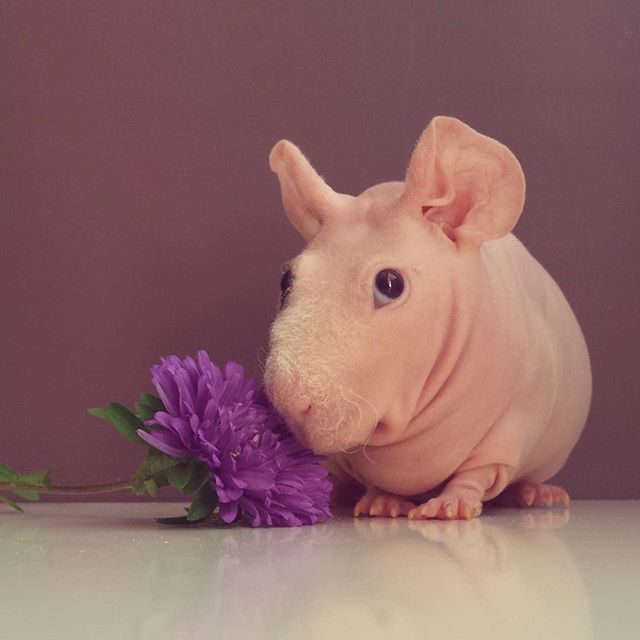 Skinny Pig The Hairless Guinea Pig Skinny Pig Cavy And - Ludwig the bald guinea pig is winning the internets hearts