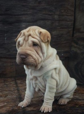 Cream Shar Pei Shar Pei Dog Cute Baby Animals Wrinkle Dogs