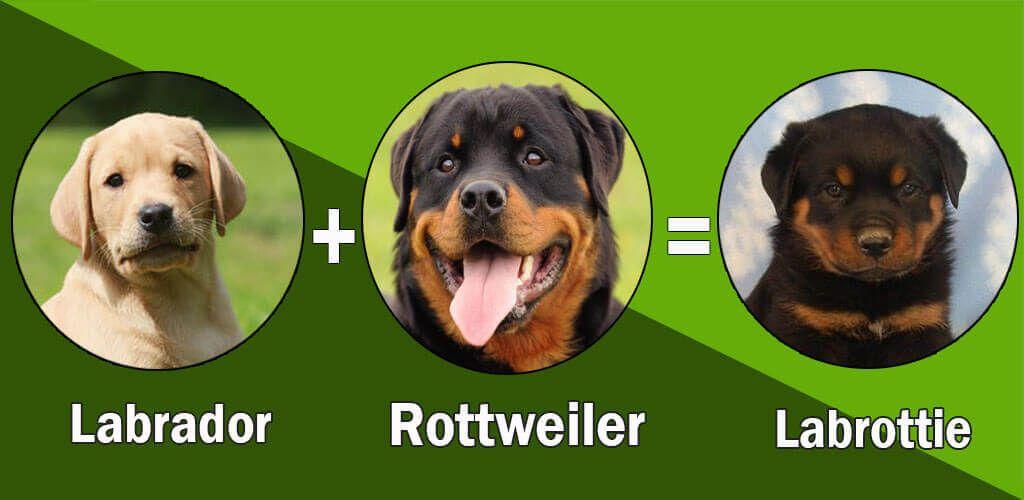 Top 10 Unreal Rottweiler Cross Breeds Puppy Breath Rottweiler