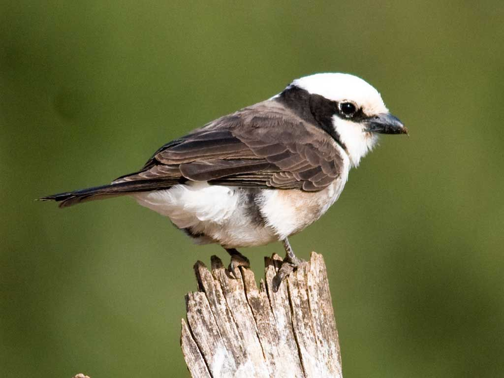 Shrike, southern white-crowned