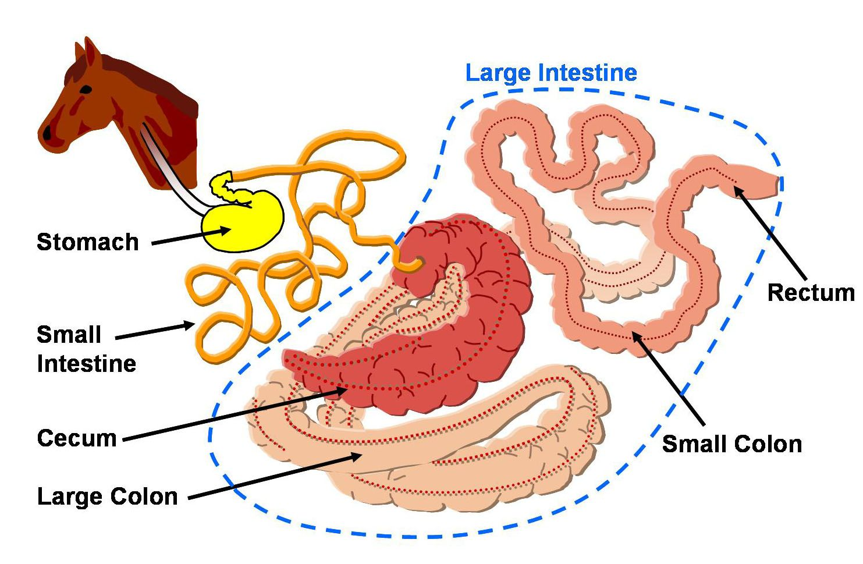 Horse Gi Diagram Anatomy Human Skull Labeled Large Intestine The Digestive Apparatus Of Animals