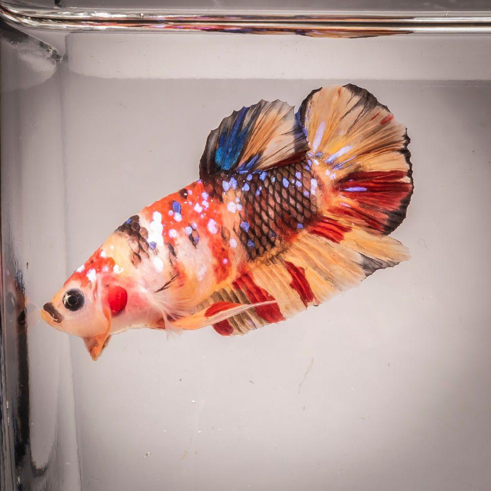 Hmpk Nemo Koi Breeding Pair Live Fish Usa Based Seller Bp0002 Aquarium Fish Fish Live Aquarium Fish