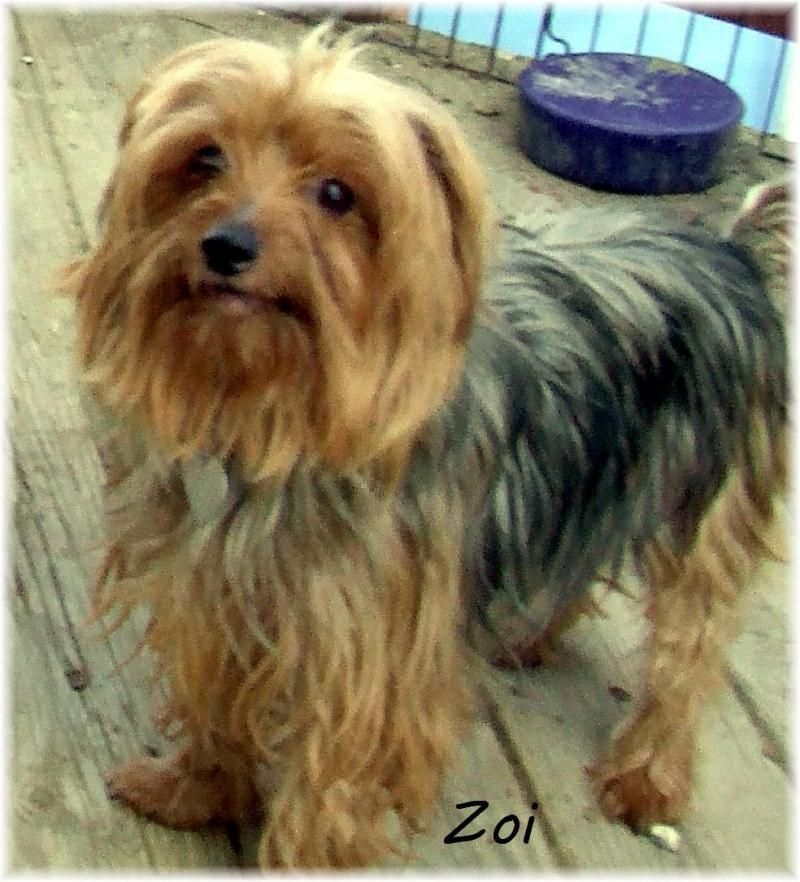 Meet ZOI, a Petfinder adoptable Yorkshire Terrier Yorkie Dog | Toledo, OH | My name is Zoi and I am a 2001 model!HOW TO ADOPT:Your first step is to fill out the on line...