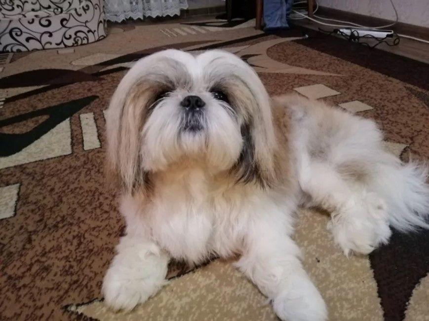 70 Female Shih Tzu Dog Names Shihtzu With Images Shih Tzu Shih Tzu Dog Best Dog Names