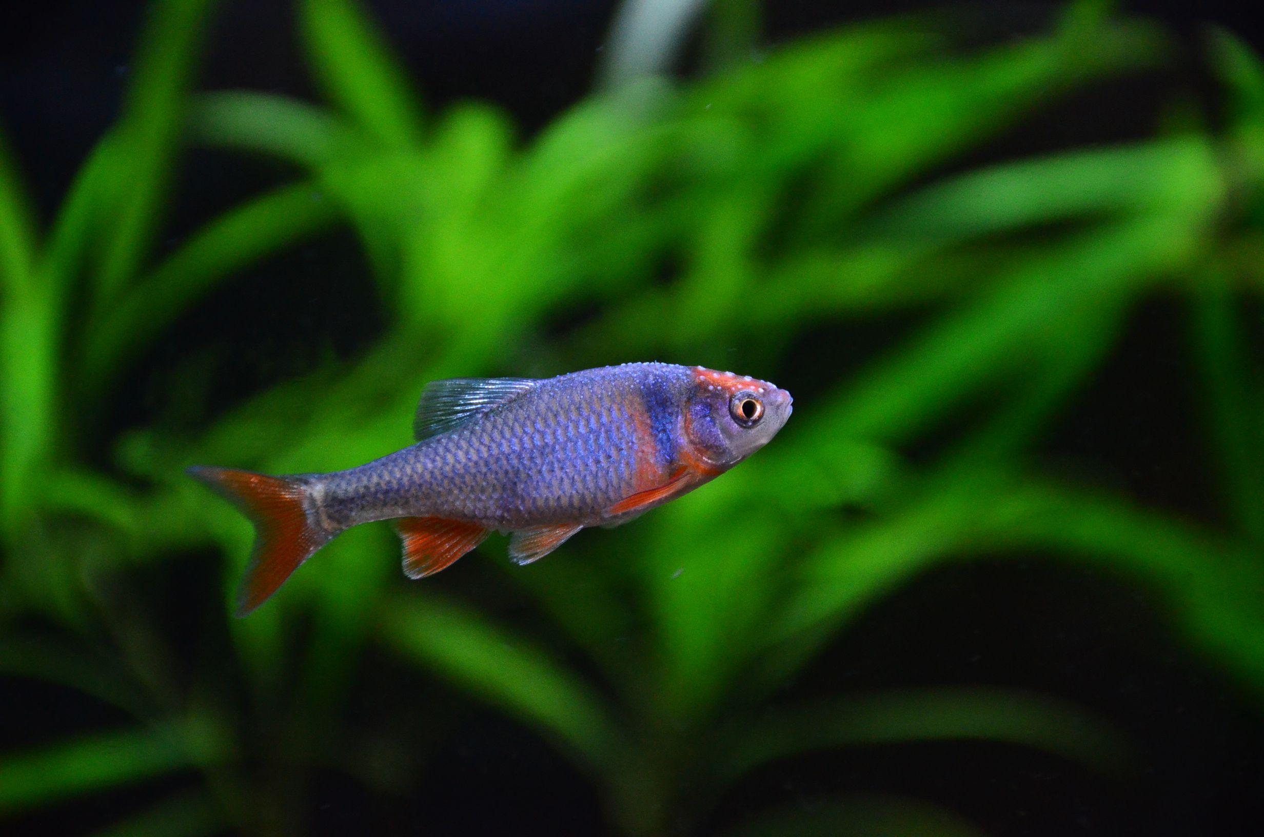 Rainbow Dace Fish Pet Pets Fresh Water