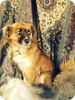 Ripon Ca Sheltie Shetland Sheepdog Pomeranian Mix Meet Buddy