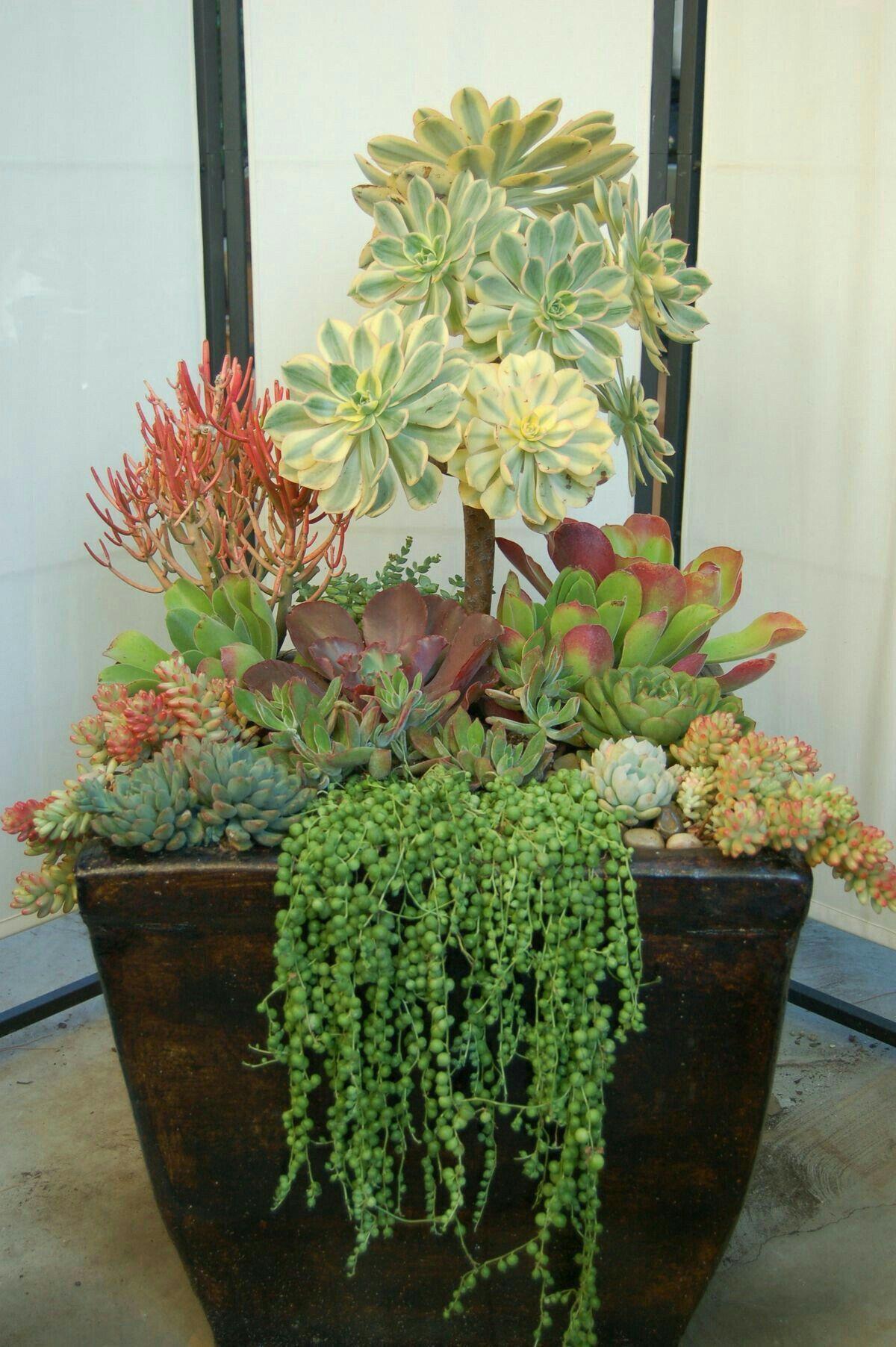 Coltivare Piselli In Vaso succulents #landscapingfrontyard (con immagini)   giardino