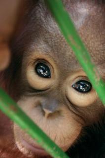 Monkey Eyes Free Stock Photo