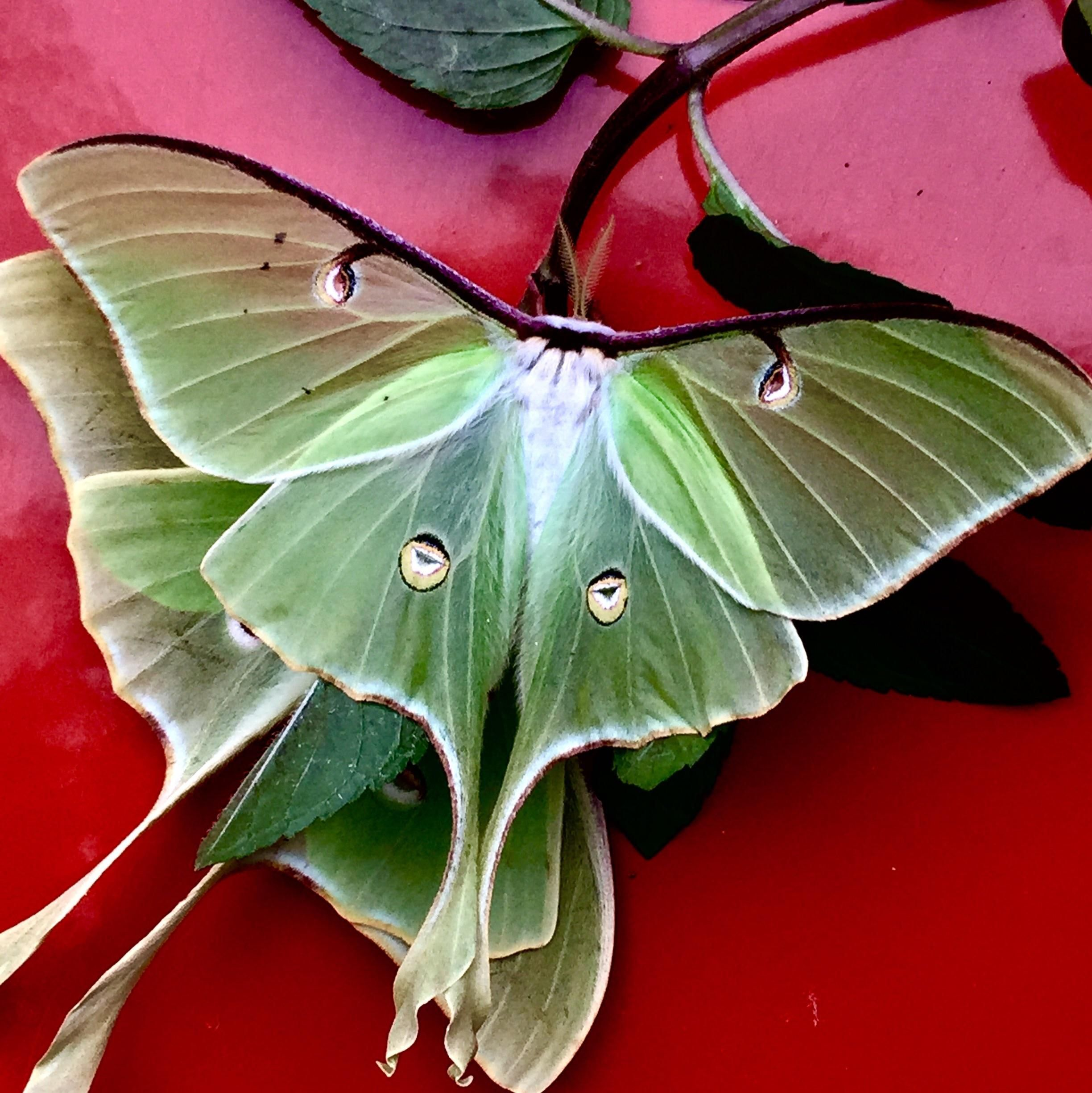 Pin By Pat On Butterflies Bugs Moths Snails Moth Luna Moth Tattoo Lunar Moth Tattoo