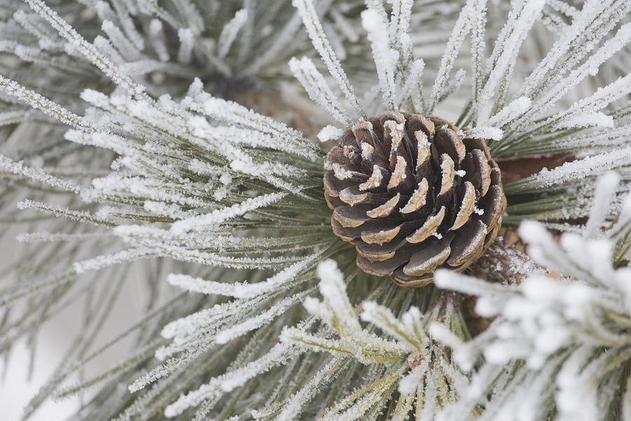 Frosty Pine Cone | Pine cones, Winter christmas, Winter wonder