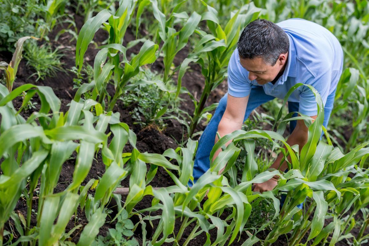 Farmer working in field corn plant house plants plants