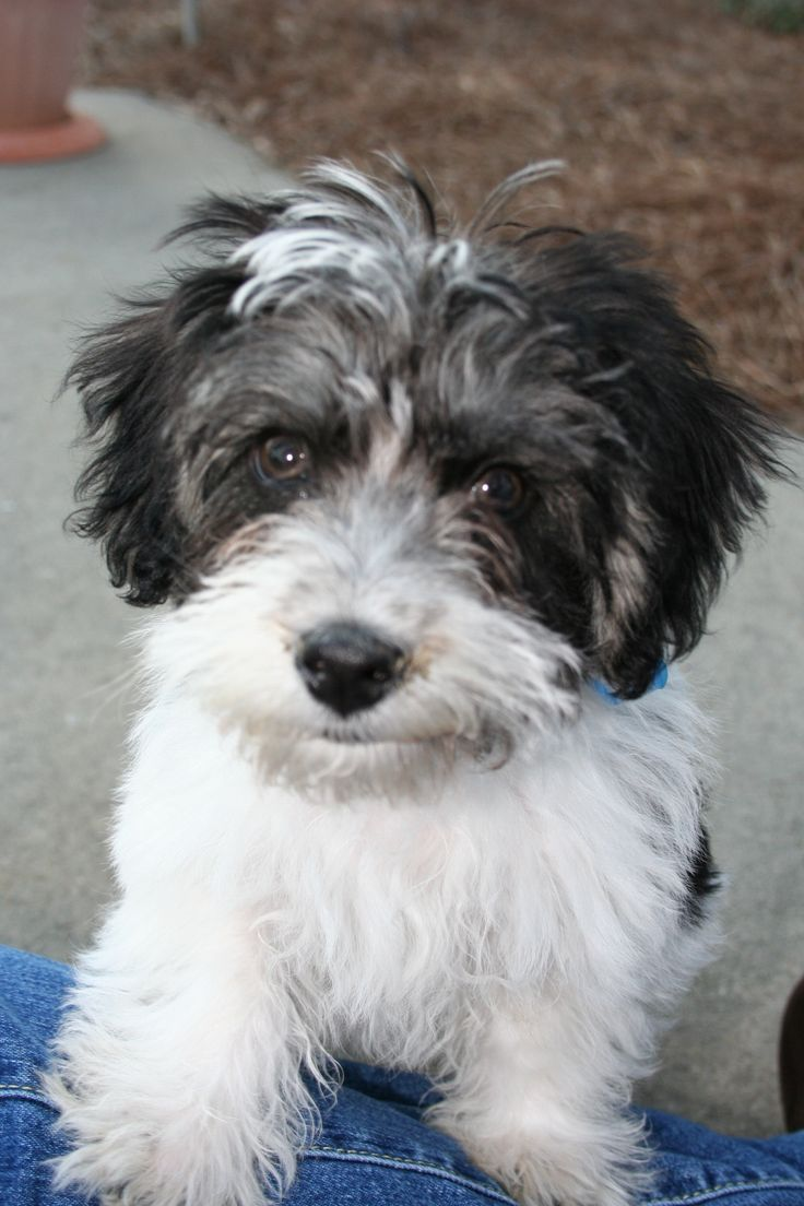 Havanese Poodle Mix Havanese Poodle Mix Havapoo Dogs