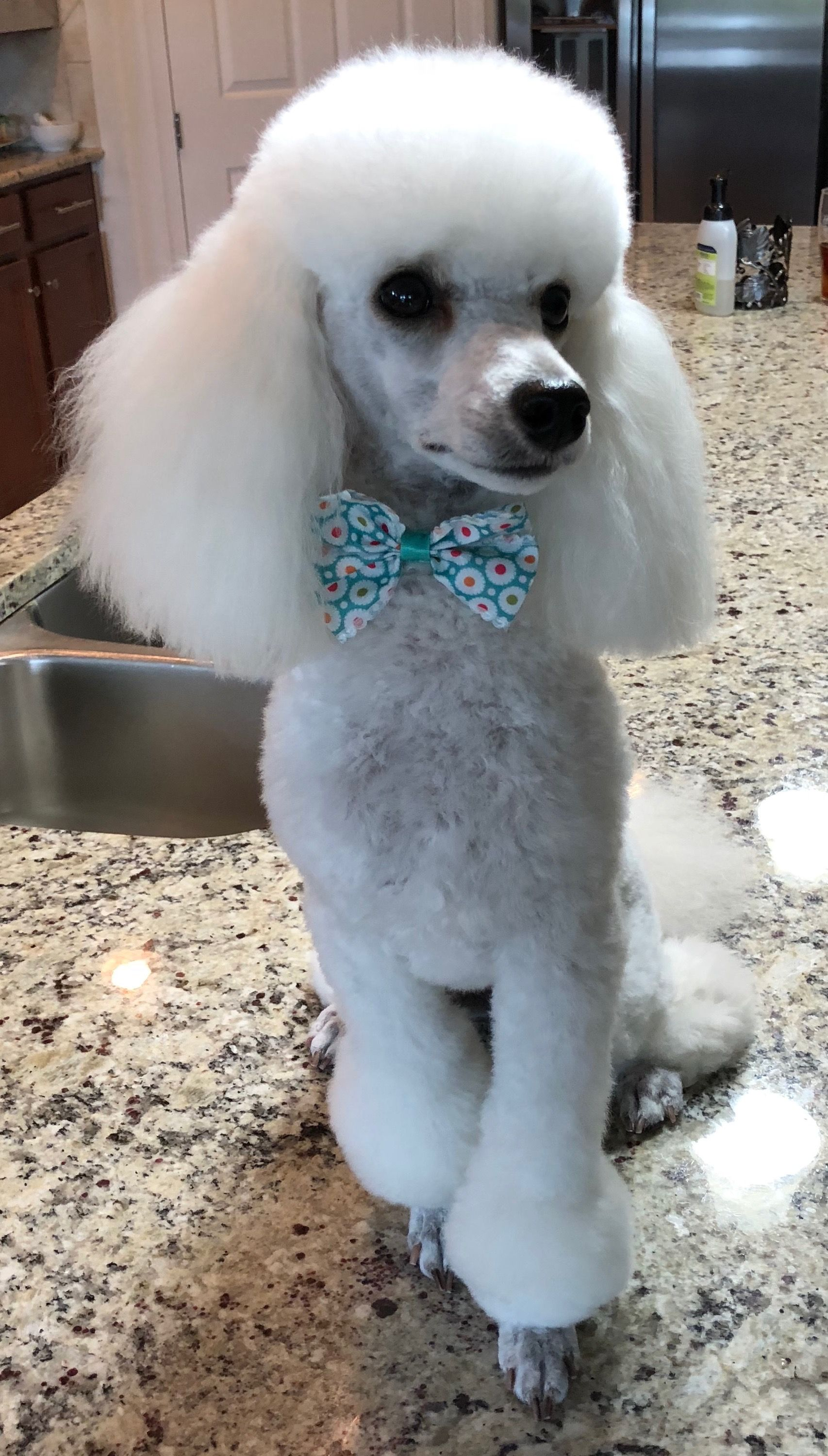Gorgeous Jolie May 24 2018 Poodle Haircut Dog Breeds Poodle