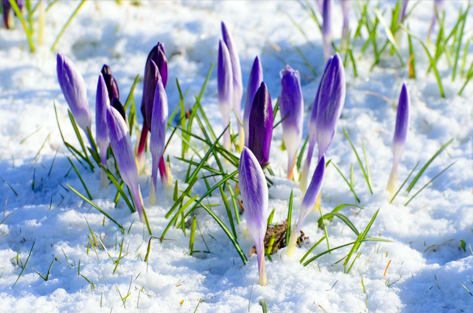 Fioletowe Krokusy Zima Spring Pictures Crocus Flower Spring Flowers