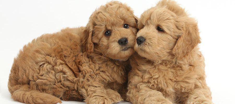 Okie Doodle Goldendoodles For Sale Oklahoma Texas Colorado New