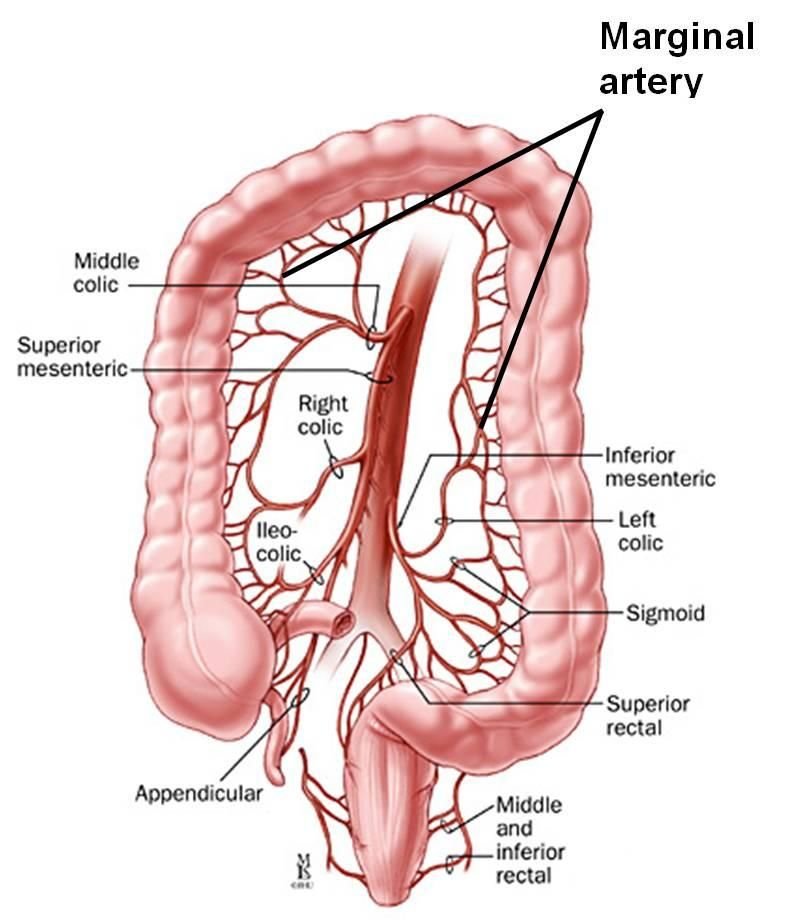 Inferior Mesenteric Artery Anatomy Pinterest Arteries Anatomy