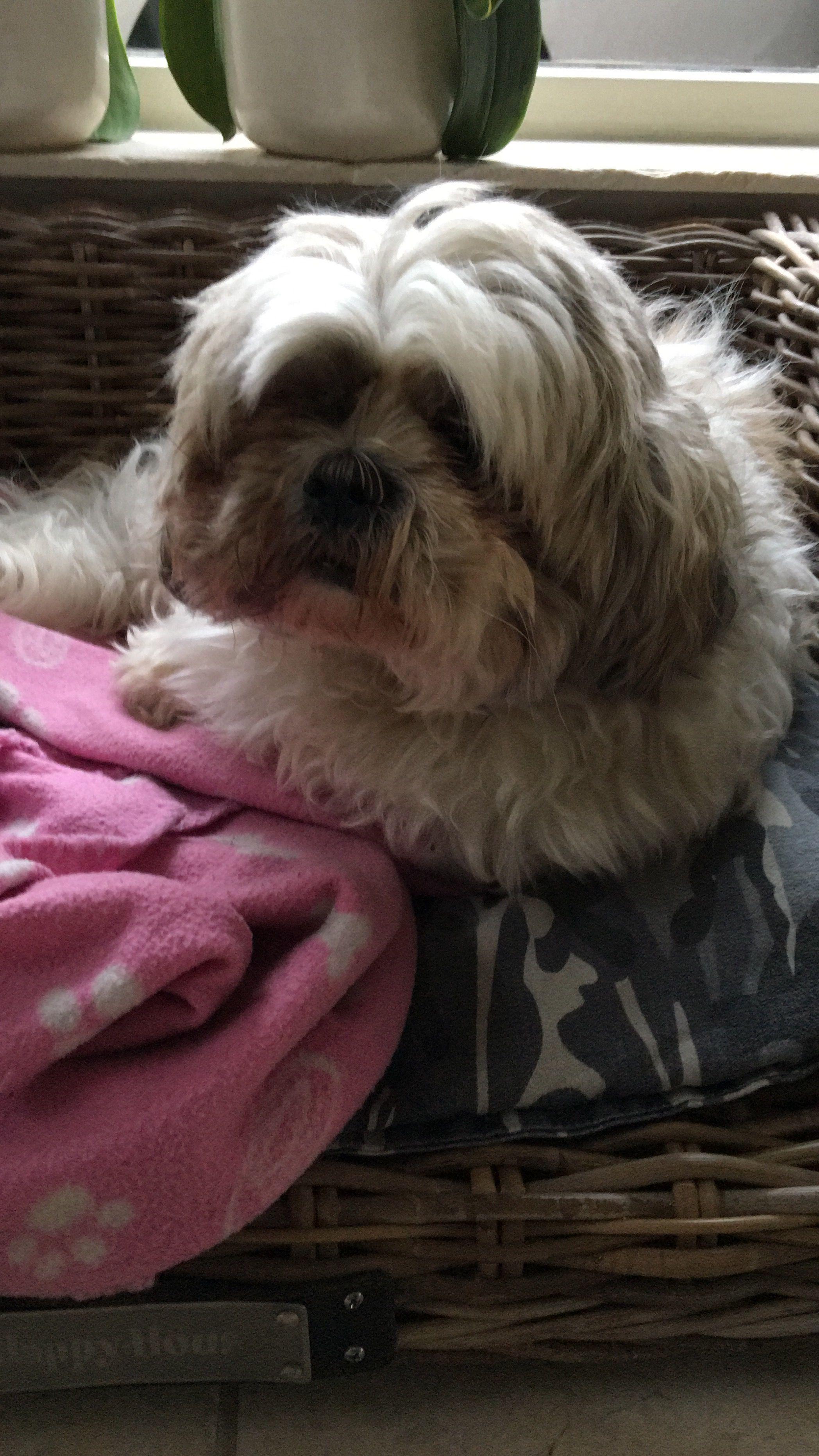 Pin By Loretta Burns On Animals Shih Tzu Shih Tzu Puppy Dogs