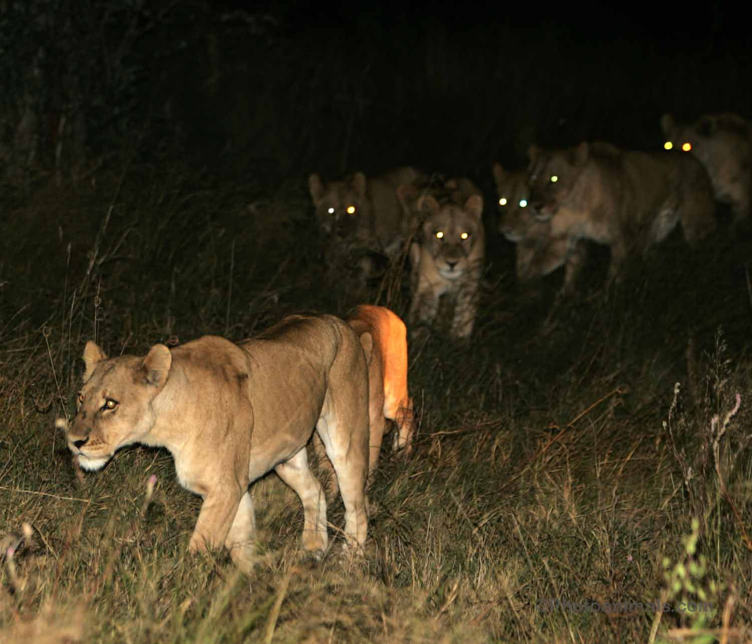 Image result for lions at night