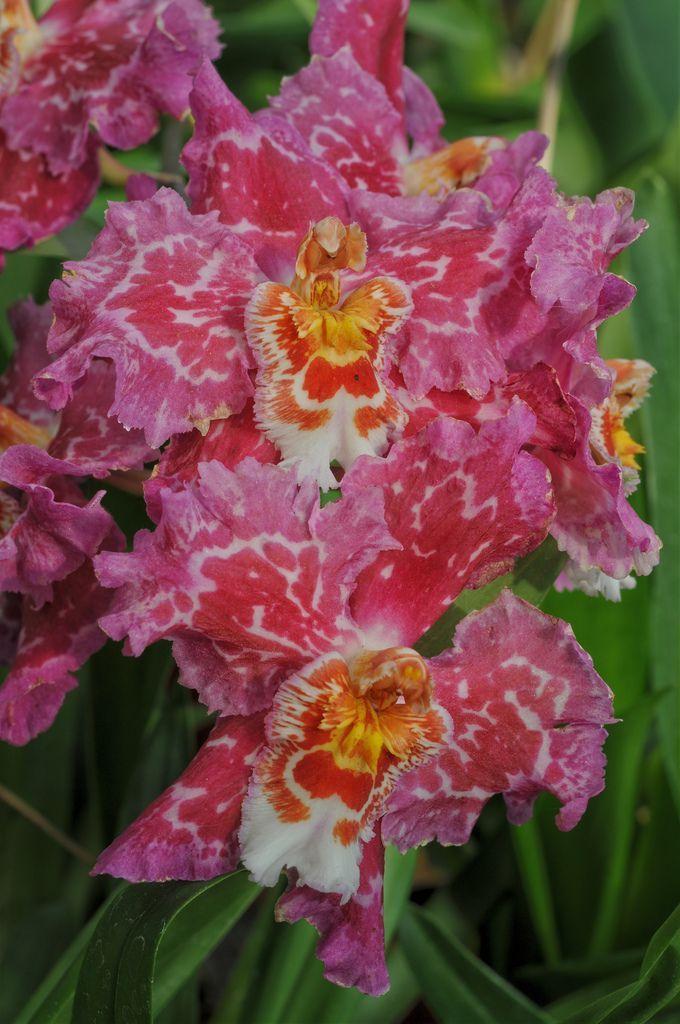 Odontioda+Alcobaca ~ Orchid