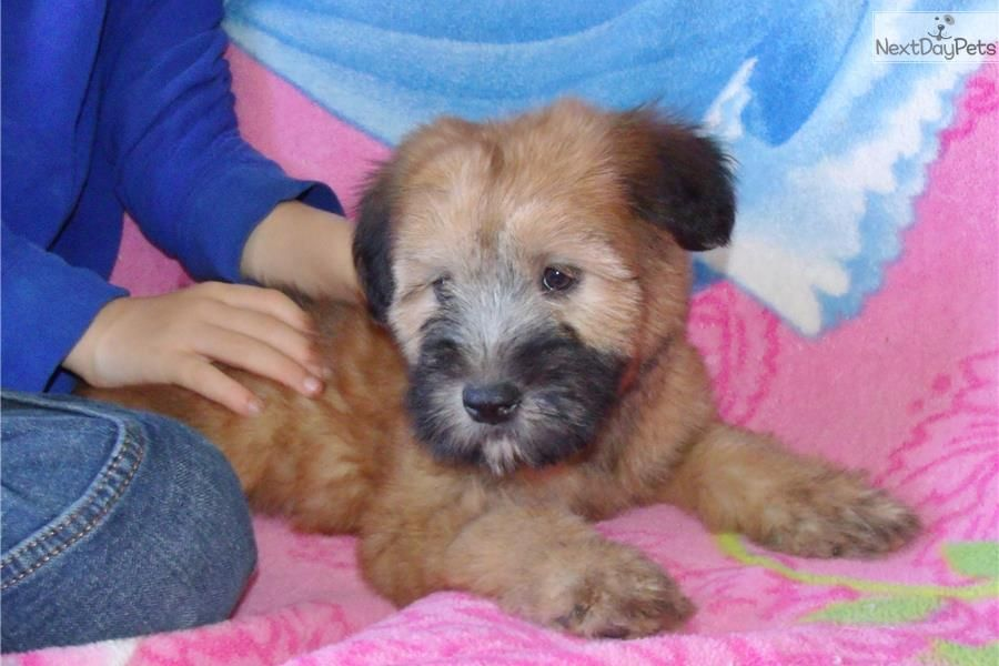 Soft Coated Wheaten Terrier puppy for sale near Los