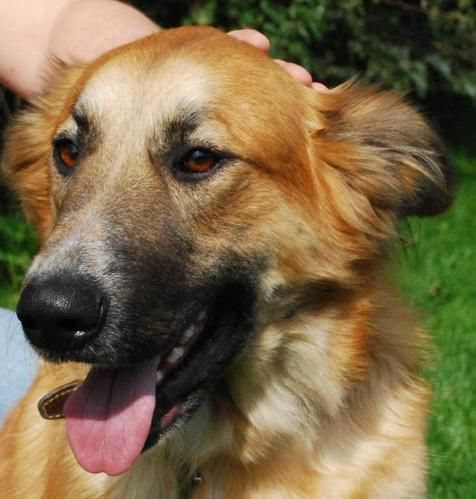 Cassie 14 Month Old Female German Shepherd Cross Rough Collie Available For Adoption Rough Collie Female German