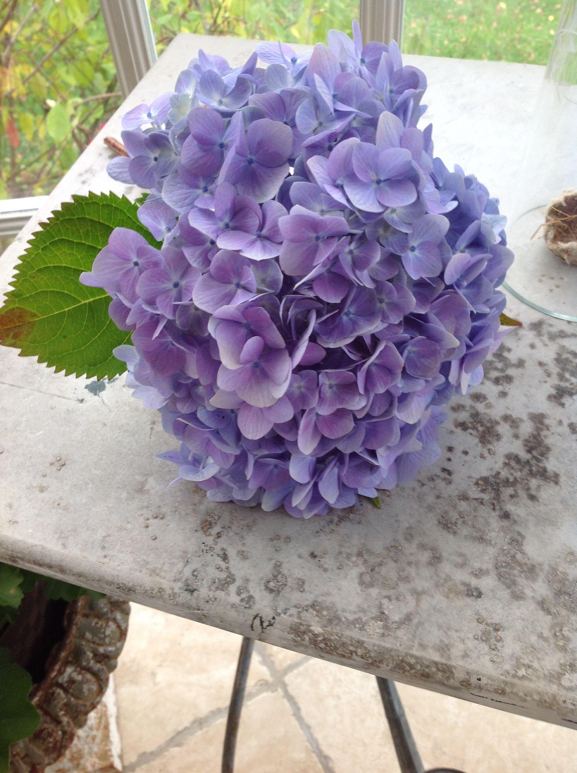 Hydrangas ortensie fiori