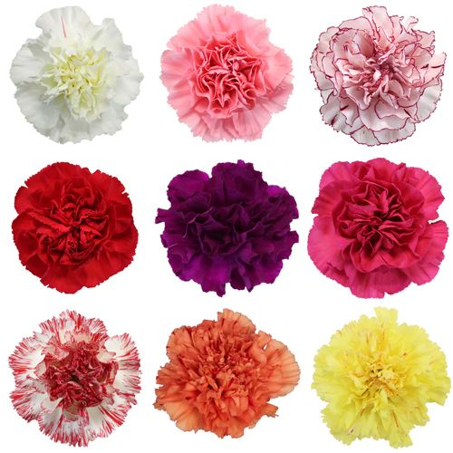 Mixed Color Carnation Flowers Carnation Flower Carnation Colors Carnations