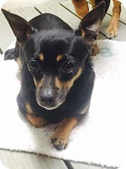 Auburn Wa Dachshund Chihuahua Mix Meet Wendy A Dog For Adoption Dog Adoption Dachshund Adoption Pets