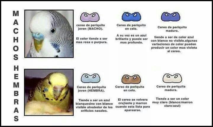Cereos Macho O Hembra Comederos Para Aves Aves De Compañía Imagenes De Animales Tiernos