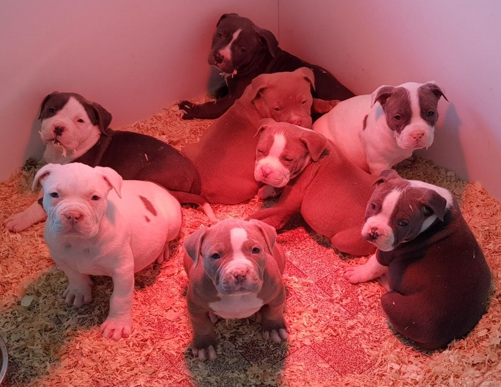 Pitbull Chiot Puppy Puppies Pero Cane American Bully Xl Xxl Bully