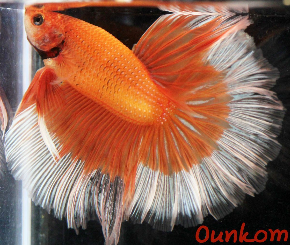 Orange white butterfly halfmoon male live betta fish for Keeping betta fish