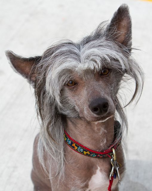 Chinese Crested Dog - Old Man
