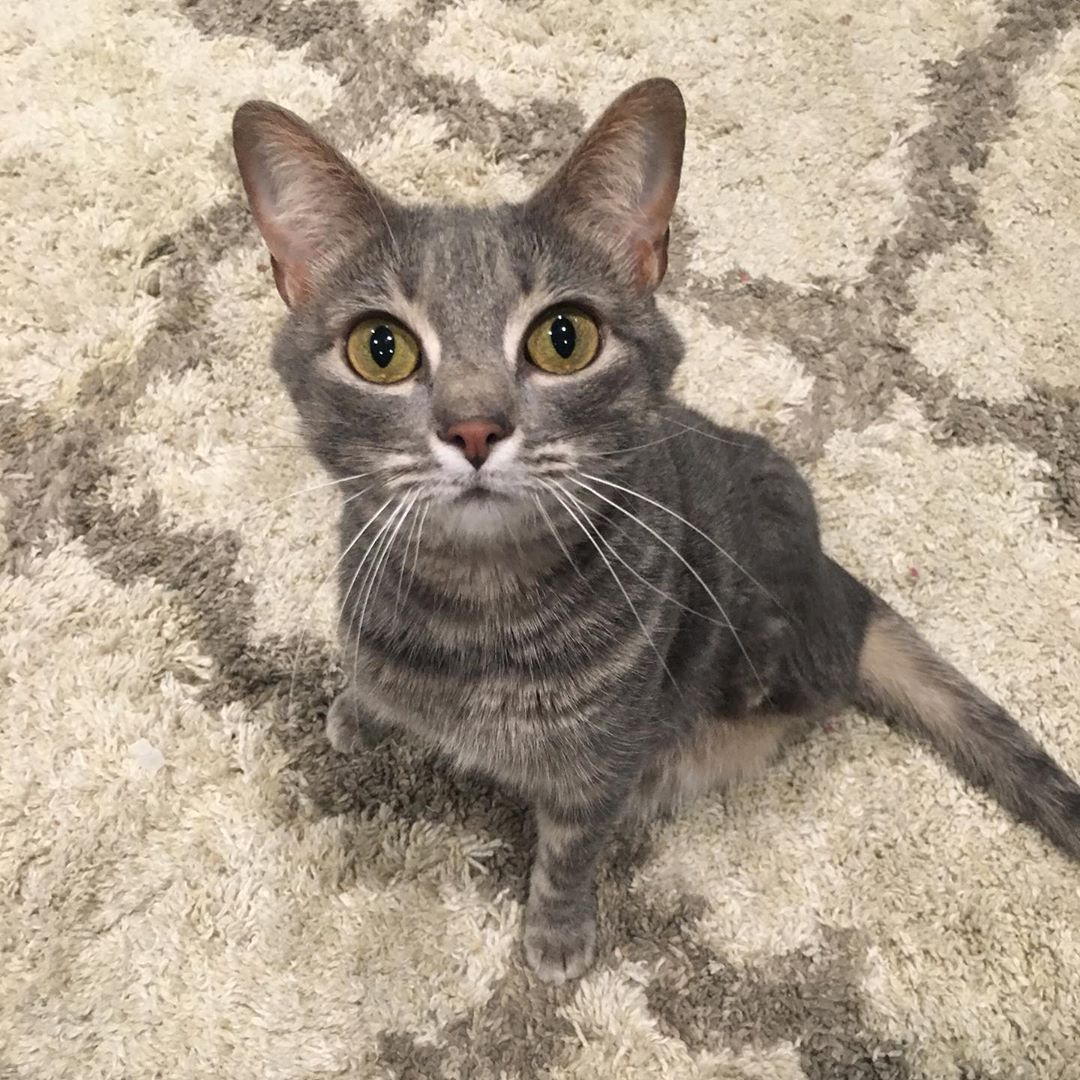 Meet The Stunning Tabby Cat Without Back Feet Who Is Living Life
