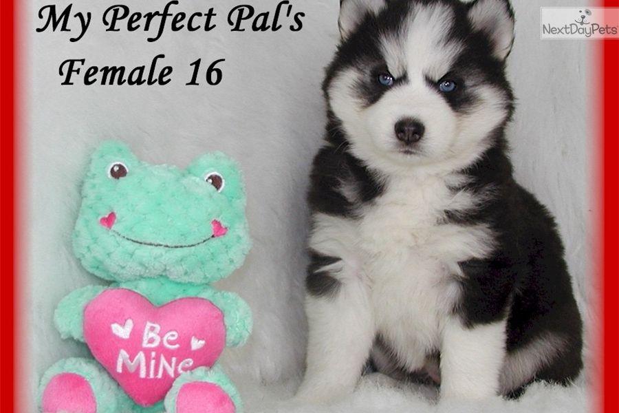 Siberian Husky Puppy For Sale Near St Joseph Missouri 9aa1f460