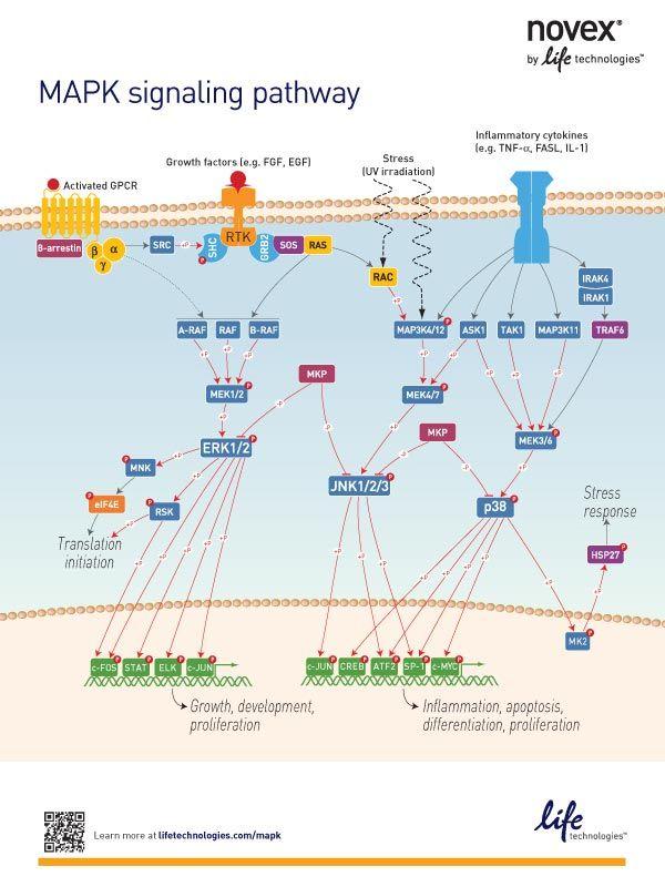 The MAPK Signaling Pathway – Education Poster | Nerd moBio ... Map Kinase Pathway Usmle on phosphatidylinositol 3-kinase pathway, insulin pathway, jak 1 2 3 signaling pathway, pi 3-kinase pathway, adenylate cyclase pathway, il-6 signaling pathway, thyroid pathway,
