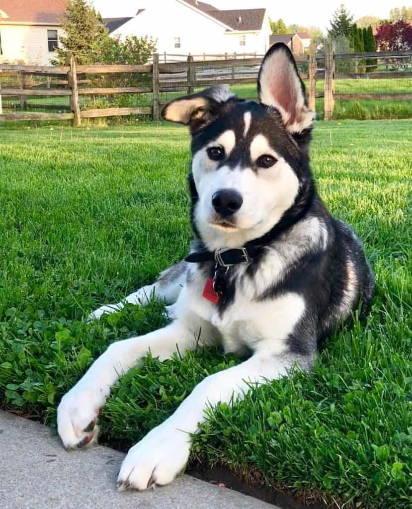 Great Pyrnees Husky Mix
