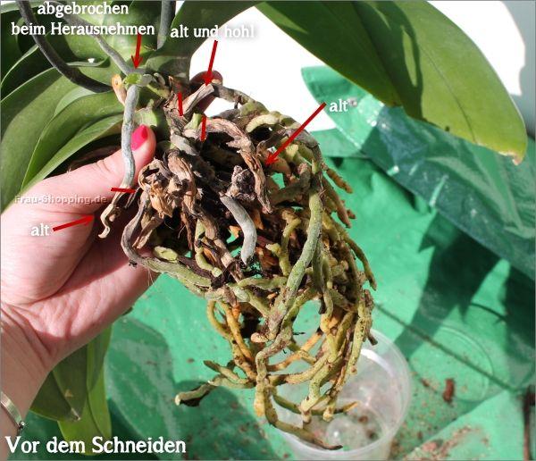 orchideen wurzeln beschneiden vorher garten und blumen. Black Bedroom Furniture Sets. Home Design Ideas